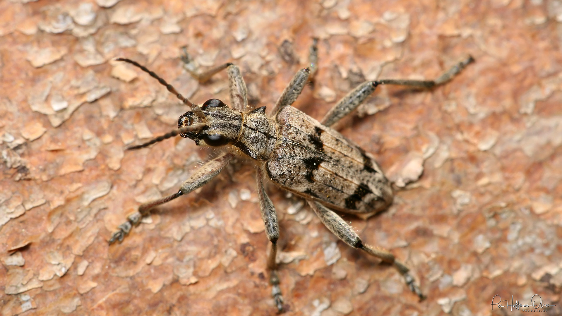 Rhagium (Rhagium) inquisitor