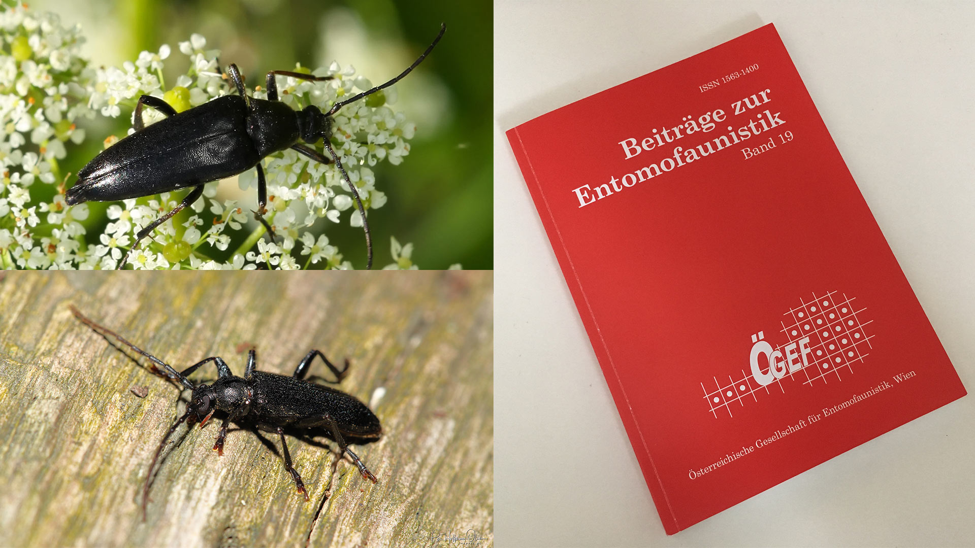 Two first records of Cerambycidae in Vienna